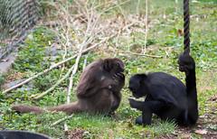 DSC_6454 (lostinbeta) Tags: philadelphia zoo animals black headed blackheaded spider monkey