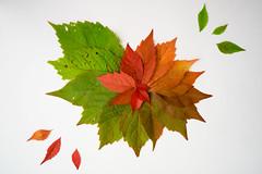 Autumn colors (Cattail_) Tags: autumn leaves color parthenocissus quinquefolia