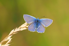 Blue....... (klythawk) Tags: commonblue polyommatusicarus grass summer nature blue green brown beige black white olympus em1 omd 40150mm 14xtc claypitnaturereserve wildlifetrust sssi wilford nottingham klythawk