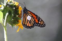 Monarch butterfly (jlcummins - Washington State) Tags: monarchbutterfly butterfly nature canon tamronsp150600mmf563divcusd tag sunflower yakimacounty washingtonstate ngc