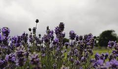 2016-09-25_08-34-46 (jonathon lynam) Tags: lavender purple green grey flower dof lavenderfarm wexford nikon nikonphotography nikond40