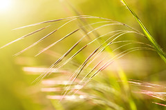 Grass (digoarpi1) Tags: grass nature harmony green silky fengshui outside springday sunlight backlight bent abstract curved hanging light background outdoors exterior closeup macro nobody plant bright fresh freshness grow herb long meadow morning natural outdoor photosynthesis scene season sunny vegetation verdant vibrant vivid