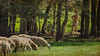 24 settembre 2016. Parco della Caffarella. Il mitico Orfeo suona la sua lira elettrica nascosto tra gli alberi... (adrianaaprati) Tags: orfeo mitologia mithology cantore musico musicista musician poesia poetry antichitàclassica classicalantiquity alberi trees pecore sheep incantatore charmer artista artist giovane ragazzo young boy violinoelettrico electricviolin