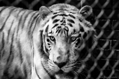 Tigre blanco (josejuanzavala) Tags: tiger tigre whitetiger tigreblanco zoo nature naturaleza