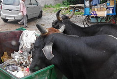 Two buffalo eating out of a bin (Badly Drawn Dad) Tags: geo:lat=2716209762 geo:lon=7803853818 geotagged ind india uttarpradesh agra bubalusbubalis domesticasianwaterbuffalo rubbish skip