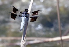 Common Whitetail Dragonfly -- Male (Plathemis lydia); Albuquerque, NM, Tingley Ponds Park [Lou Feltz] (deserttoad) Tags: nature insect pond park dragonfly whitetail newmexico odonate