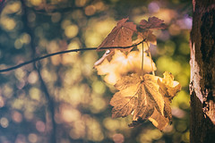 Maple bokeh II (Stefan Sellmer) Tags: bokeh maple outdoor ahorn sigma35mmart d750 forest leaves dof autumn