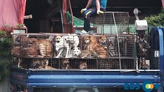 The horrible reality of dog meat farms that you dont know - Dogs on truck (Koreandogs) Tags: ebs dogmeat animalcruelty boshintang animalabuse gaegogi dogsoju dogelixir southkorea              hyundai samsung lg kia sk daewoo fila koreanairline asianaairline boycott