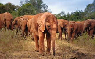 Foster Herd, David Sheldrick Elephant Orphanage