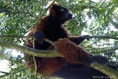 P1060222 (LaBonVampire) Tags: lemur animals nature leica leicalenses lumix