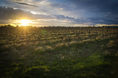 Sunset in Provence (Christopher Sauvage) Tags: sunset france field march pentax sigma provence grape landscapebeauty dpssunlight