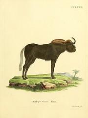 n488_w1150 (BioDivLibrary) Tags: mammals pictorialworks harvarduniversitymczernstmayrlibrary bhl:page=31059832 dc:identifier=httpbiodiversitylibraryorgpage31059832