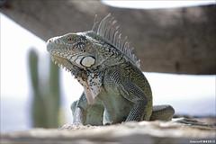 Iguana (wk4ever) Tags: animal canon wildlife leguaan iguana curacao photographyforrecreation