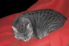 Grey cat on red (omnibusse) Tags: animal cat katze colorkeying