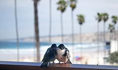 Love Birds (gcquinn) Tags: ocean california love beach pier surf geoff pigeon lajolla quinn surfers geoffrey shores dsc3554bb