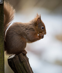Red Squirrel (Paul Tymon) Tags: red squirrel esquilo ardilla