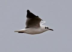 Th13_05556a (jerryoldenettel) Tags: bird thailand gull larus laridae charadriiformes 2013 brownheadedgull larusbrunnicephalus laemphakbia laemphakbiasandspit