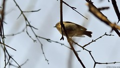Golden-crowned Kinglet (Regulus satrapa) (Steve Arena) Tags: bird songbird goldencrownedkinglet kinglet gcki