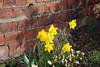 Daffs..... (Halliwell_Michael ## Offline mostlyl ##) Tags: flowers spring daffodils westyorkshire brighouse floralappreciation nikond40x