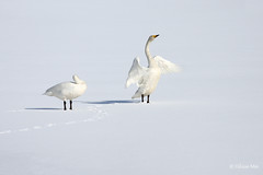 IMG_1036 (Hilmar Mr) Tags: sun snow cute ice birds iceland great sland akureyri beauti fuglar