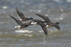Brant Geese (David Bygott) Tags: california usa bird flying aves goose brant saltonsea taxonomy:binomial=brantabernicla davidbygott