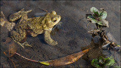 Toad and Water Mint (geospace) Tags: toad vr bufobufo 105mm micronikkor ifed cressbrook f28g watercumjollydale