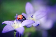 (Kim van Dijk photography) Tags: flower macro closeup bug insect spring flora purple ladybird ladybug kimvandijk