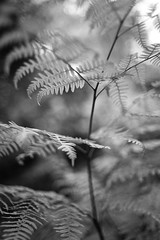 Hands in the Air (belleshaw) Tags: blackandwhite plant fern nature bokeh claremontca ranchosantaanabotanicgardens