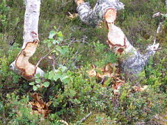 DSCF3111 Look what the beavers have done (boaski) Tags: summer mountain nature norway norge norwegen norvegia osen noorwegen trysil hedmark norwege sterdalen norwegia sreosen