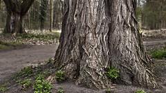 Big Foot (L I C H T B I L D E R) Tags: park tree spring seasons jahreszeiten cologne kln fourseasons trunk april baum forestpark stadtwald urbanpark baumstamm cityforest