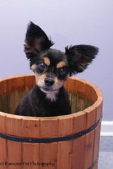 Buster in Bucket (Pawsome33) Tags: dog chihuahua bucket