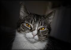 Fouine BWJ (maxmythoz) Tags: portrait bw white black animal yellow cat jaune eyes chat noir bokeh oeil yeux blanc flou d7000