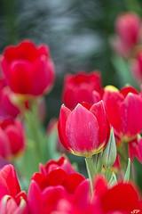 Tulips (SPP- Photography) Tags: plants minnesota spring tulips tulip twincities saintpaul springflowers springtime spp marjoriemcneelyconservatory sppphotography