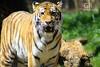 Tiger Stare (gecarti) Tags: nature animals zoo aquarium pittsburgh pennsylvania tiger ppg