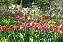 Spring Flowers, Morningside Park (jschumacher) Tags: nyc flowers spring tulips harlem magnolia morningsidepark