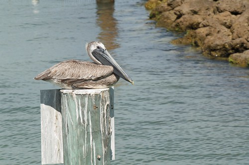 Sanibel Trip 2013 - Brown Pelicans of Captiva