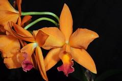 LC hybrid (Nurelias) Tags: flowers flores orchid flower color macro fleur beautiful forest photography flora nikon rainforest colorful orchids orchidaceae tropical orquidea orchidee makro flore orchideen d7100 orchidales