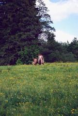 (DimasVedovato) Tags: horses nature grass germany cavalos alemanha