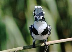 Bontvisvanger, Pied Kingfisher Lady (Davi Schutte Potchefstroom) Tags: piedkingfisher potchefstroom bontvisvanger