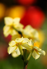 Daffs On Stage ... (AnyMotion) Tags: flowers red plant rot primavera nature floral colors yellow garden spring colours blossom bokeh frankfurt natur pflanze gelb daffodil tulip blte garten printemps farben frhling narcissus tulpe narzisse anymotion 2013 canoneos5dmarkii 5d2