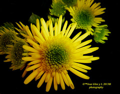 Yelow special flowers (Pepe (ADM)) Tags: flowers flores nature flor special yelow fiori fleure yelowflowers