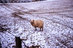 Sheep (Saturated Imagery) Tags: snow film wales 35mm fence sheep slidefilm e6 conwy canoneos300 cwmpenmachno kodakektachrome100g