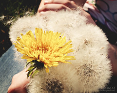 bunch of wishes (im thinking outloud) Tags: wishes dandelions dandelionbouquet dandelionseeds