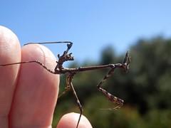 Empusa pennata (Nymphe) eine Fangschrecke (fotoculus) Tags: portugal tiere insects algarve insekten nymphe empusapennata fangschrecken