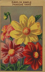 Seed Label - Dahlia Simple (Jon Williamson) Tags: history vintage advertising ad advertisement labels vintascope