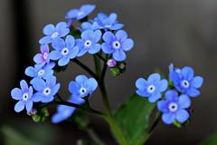 Dream big! (Laura Rowan) Tags: forgetmenot spring ourgarden bloom blossom flower tiny blue
