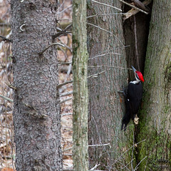 Feeding time (Chubby's Photography) Tags: trees red black tree bird nature wisconsin outdoors woods woodpecker wildlife redhead wausau wausauwi