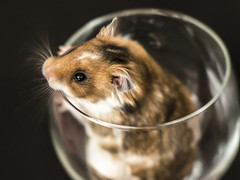 hamster (peterhasky) Tags: portrait animals hamster nikkor85mm14d nikond600