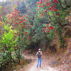 Rhododendron blooming along the trail, Gosainkunda trek, Langtang national park, Nepal