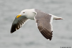 Western Gull, 4cy (little-W | Studying gulls) Tags: bird gull westerngull meeuw vogel larus occidentalis larusoccidentalis